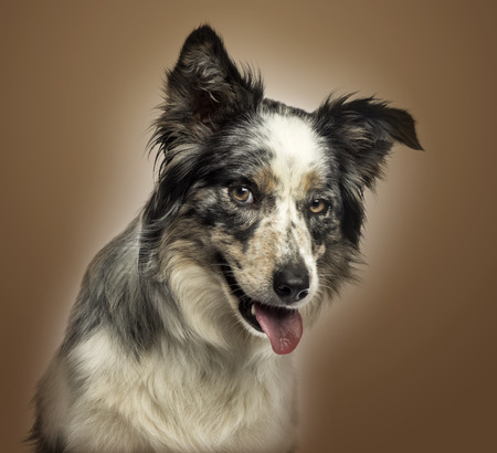 conspire: Close-up of a Border collie panting, with provocative look, on a brown gradient background