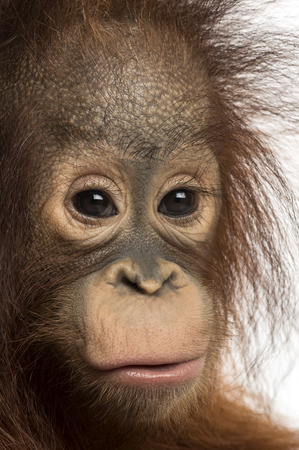 Close-up of a young Bornean orangutan, looking at the camera, Pongo pygmaeus, 18 months old, isolated on white photo