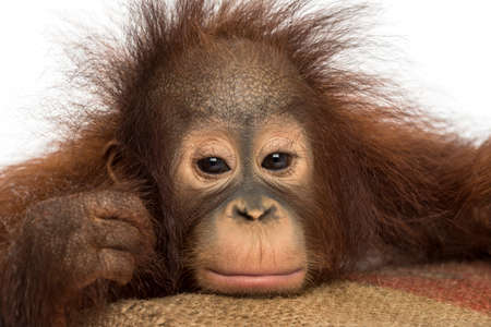 Close-up of a young Bornean orangutan looking tired, looking at the camera, Pongo pygmaeus, 18 months old, isolated on white photo