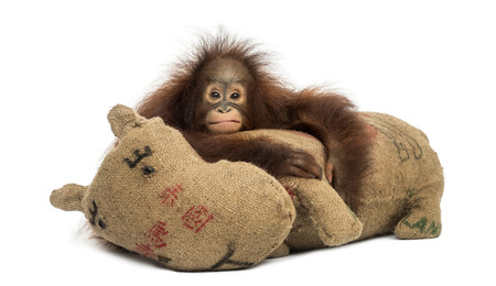 Young Bornean orangutan hugging its burlap stuffed toy, looking at the camera, Pongo pygmaeus, 18 months old, isolated on white photo
