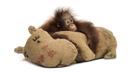 orangutan: Young Bornean orangutan hugging its burlap stuffed toy, looking sad, Pongo pygmaeus, 18 months old, isolated on white