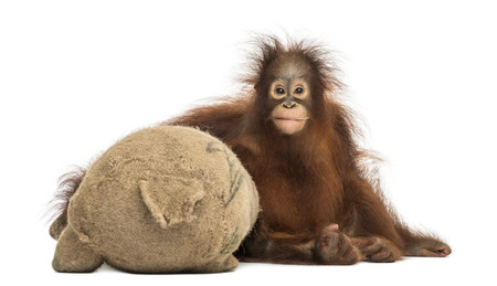 Front view of a young Bornean orangutan hugging its burlap stuffed toy, Pongo pygmaeus, 18 months old, isolated on white photo