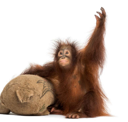 orangutan: Young Bornean orangutan with its burlap stuffed toy, reaching up, Pongo pygmaeus, 18 months old, isolated on white