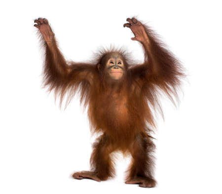 Young Bornean orangutan standing, reaching up, Pongo pygmaeus, 18 months old, isolated on white Stock Photo