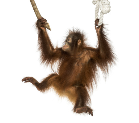 Young Bornean orangutan hanging on to a branch and rope, Pongo pygmaeus, 18 months old, isolated on white photo