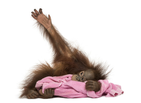 Young Bornean orangutan lying, cuddling a pink towel, Pongo pygmaeus, 18 months old, isolated on white photo