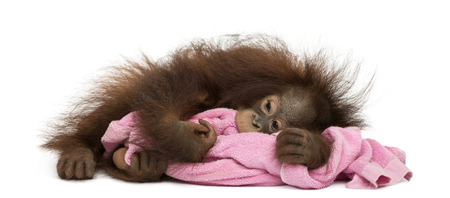 Young Bornean orangutan tired, lying and cuddling a pink towel, Pongo pygmaeus, 18 months old, isolated on white photo