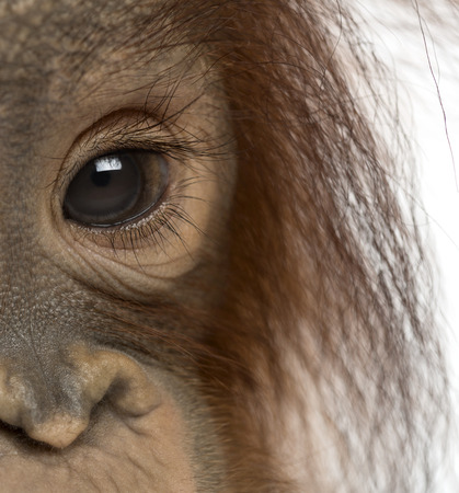 Close-up of a young Bornean orangutans eye, Pongo pygmaeus, 18 months old, isolated on white photo