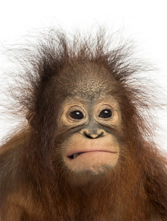 Close-up of a young Bornean orangutan making a face, Pongo pygmaeus, 18 months old, isolated on white photo