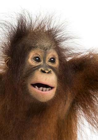 mouth opened: Close-up of a young Bornean orangutan, mouth opened, Pongo pygmaeus, 18 months old, isolated on white