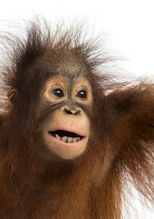 orangutan: Close-up of a young Bornean orangutan, mouth opened, Pongo pygmaeus, 18 months old, isolated on white