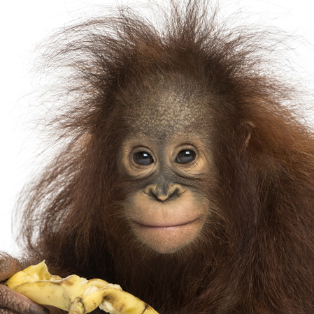 pongo: Close-up of a Young Bornean orangutan eating a banana, looking at the camera, Pongo pygmaeus, 18 months old, isolated on white Stock Photo