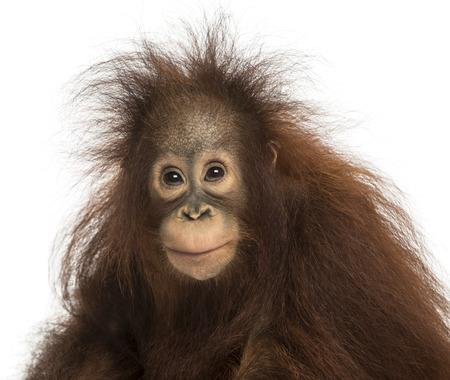 orangutan: Young Bornean orangutan looking at the camera, Pongo pygmaeus, 18 months old, isolated on white Stock Photo