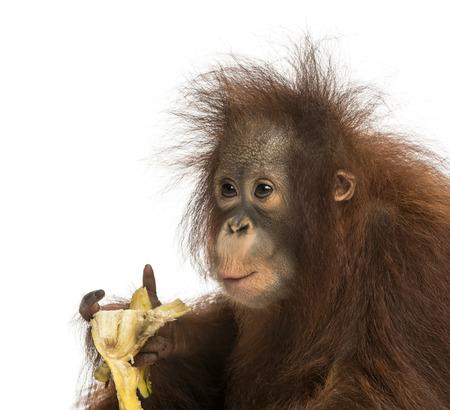 orangutan: Close-up of a young Bornean orangutan eating a banana, Pongo pygmaeus, 18 months old, isolated on white