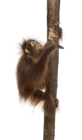 orangutan: Side view of a young Bornean orangutan climbing on a tree trunk, Pongo pygmaeus, 18 months old, isolated on white