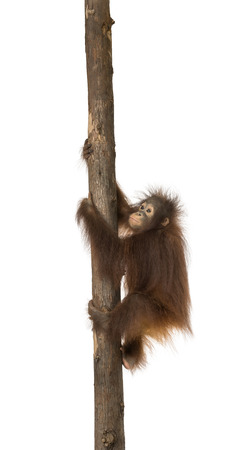 pongo: Side view of a young Bornean orangutan climbing on a tree trunk, Pongo pygmaeus, 18 months old, isolated on white