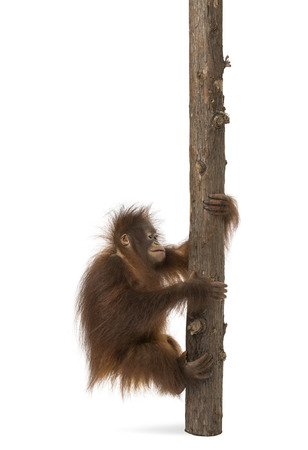 Side view of a young Bornean orangutan climbing on a tree trunk, Pongo pygmaeus, 18 months old, isolated on white photo