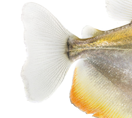 caudal fin: Close-up of a Mylossoma aureums caudal fin, isolated on white