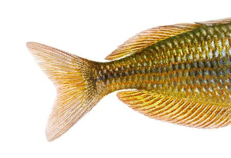 caudal fin: Close-up of an Eastern Rainbowfishs caudal fin, Melanotaenia splendida splendida, isolated on white