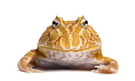 horned frog: Front view of an Argentine Horned Frog looking at the camera, Ceratophrys ornata, isolated on white Stock Photo