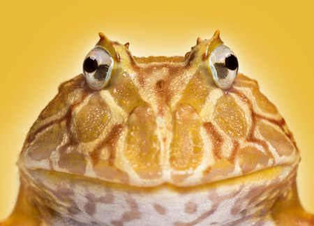 horned frog: Close-up of an Argentine Horned Frog facing, Ceratophrys ornata, on a yellow background Stock Photo