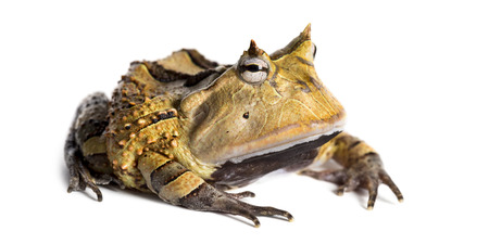 horned frog: Argentine Horned Frog, Ceratophrys ornata, isolated on white Stock Photo