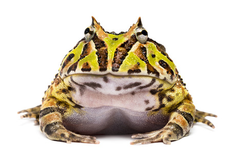 horned frog: Front view of an Argentine Horned Frog, Ceratophrys ornata, isolated on white