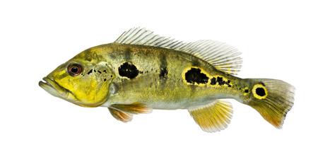fresh water aquarium fish: Side view of a fresh water aquarium fish, isolated on white Stock Photo