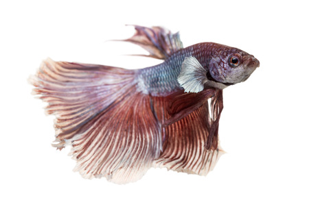 Side view of a Siamese fighting fish, Betta splendens, isolated on white Stock Photo - 25983333