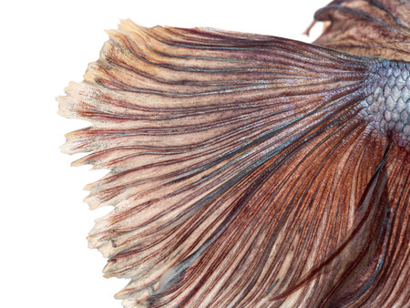 Close-up of a Siamese fighting fish's caudal fin, Betta splendens, isolated on white Stock Photo - 25983335