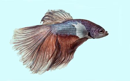 betta splendens: Side view of a Siamese fighting fish, Betta splendens, on a blue background Stock Photo