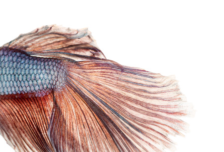 caudal fin: Close-up of a Siamese fighting fishs caudal fin, Betta splendens, isolated on white Stock Photo