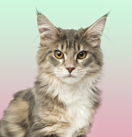 head shot: Close-up of a Maine Coon kitten looking at the camera, on a gradient colored background