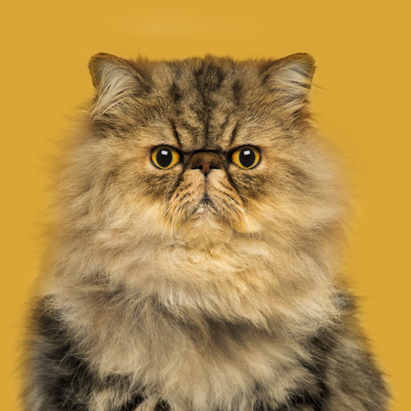sullenly: Front view of a grumpuy Persian cat sitting, looking at the camera, on a orange background