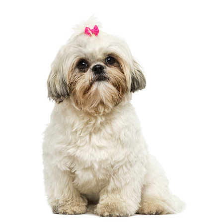 Front view of a Shih Tzu sitting, looking at the camera, 10 months old, isolated on white photo