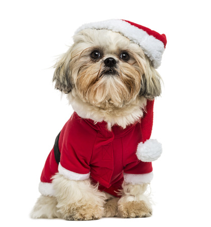 shih tzu: Shih Tzu wearing a christmas disguise, sitting, 10 months old, isolated on white