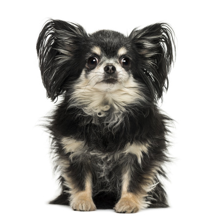 long hair chihuahua: Long hair Chihuahua sitting, looking at the camera, isolated on white Stock Photo