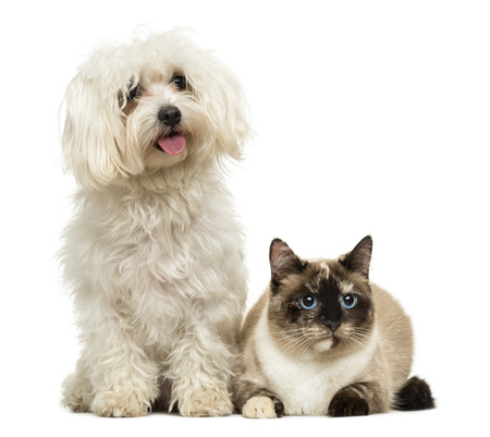 bichon: Maltese panting and Birman cat, isolated on white