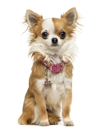 Chihuahua wearing a shiny collar, sitting, 7 months old, isolated on white Stock Photo