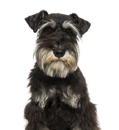 Close-up d'un Schnauzer miniature en regardant la cam�ra, 1 an, isol� sur blanc photo