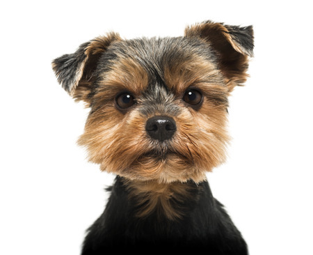 head shot: Close-up of a Yorkshire Terrier looking severly at the camera, 6 years old, isolated on white