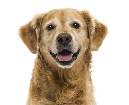 head shots: Close-up of a Golden Retriever panting, 11  years old, isolated on white