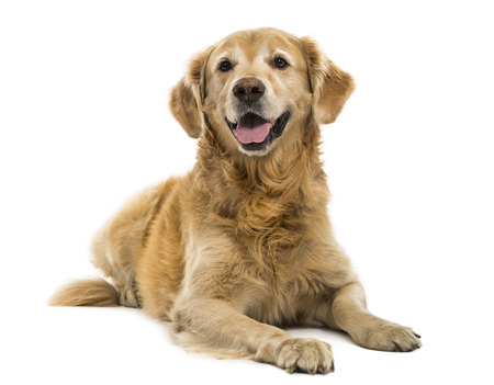 11 years: Golden Retriever lying, panting, 11  years old, isolated on white