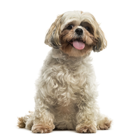 Front view of a Shih tzu sitting, panting, looking at the camera, isolated on white photo