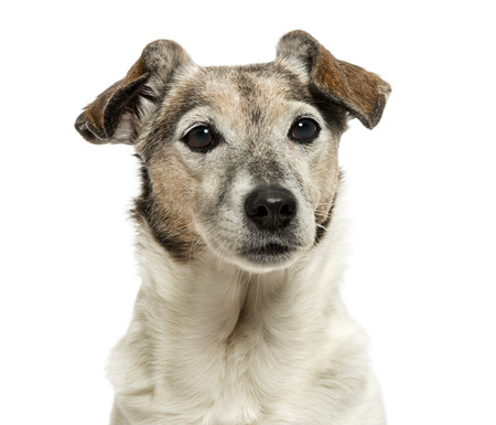 Close-up of an old Jack Russell Terrier, 13 years old, isolated on white photo