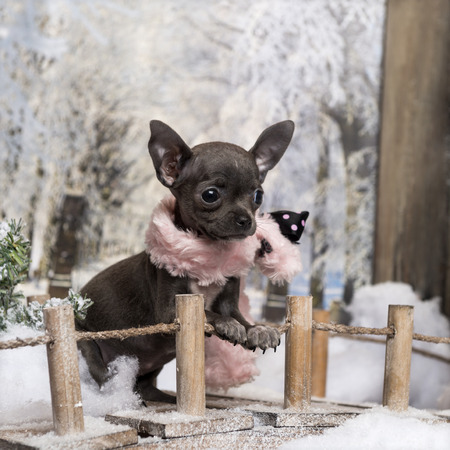 chihuahua 3 months old: Chihuahua puppy with pink scarf, standing on a bridge in a winter scenery, 3 months old Stock Photo