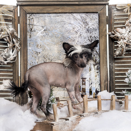 Chinese crested dog puppy standing on a bridge in a winter scenery photo