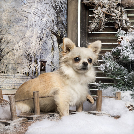 Chihuahua sitting on a bridge in a winter scenery, 10 months old photo