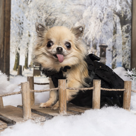 Chihuahua sticking the tongue, on a bridge in a winter scenery, 4 years old photo