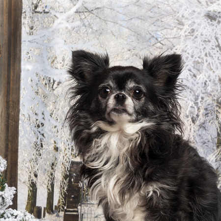 Close-up of a Chihuahua in a winter scenery photo